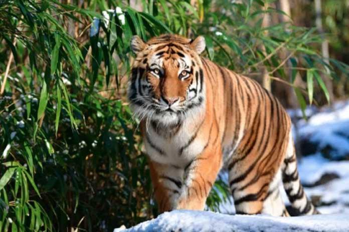 corona virus in tiger
