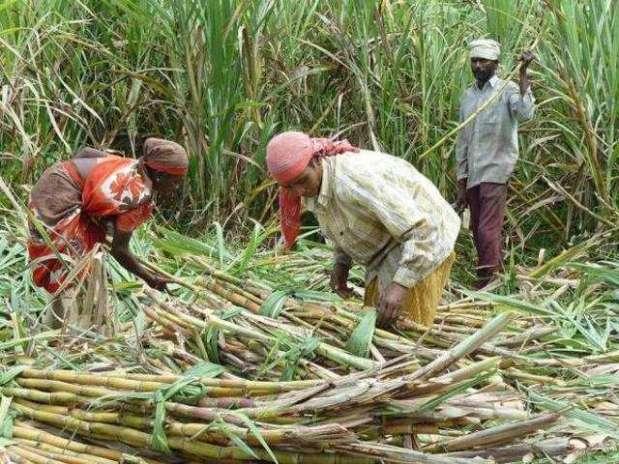 sugarcane crop